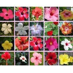 Hibiscus Rosa Sinensis Plant Fresh Flowers Plants Trees