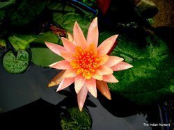 Orange Water Lily Pool Plants