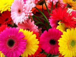 Gerbera Cut Flowers