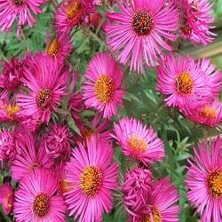 Aster flowers at rs 50 units begur bengaluru id 4778919262 aster flowers mightylinksfo