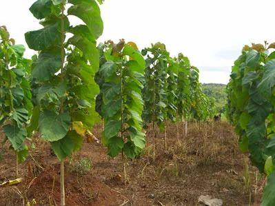 Teak (Sagwan) Plants at Rs 50/piece   Sagwan Plant, टीक का ...