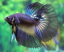 Most Expensive Aquarium Fish In India 3