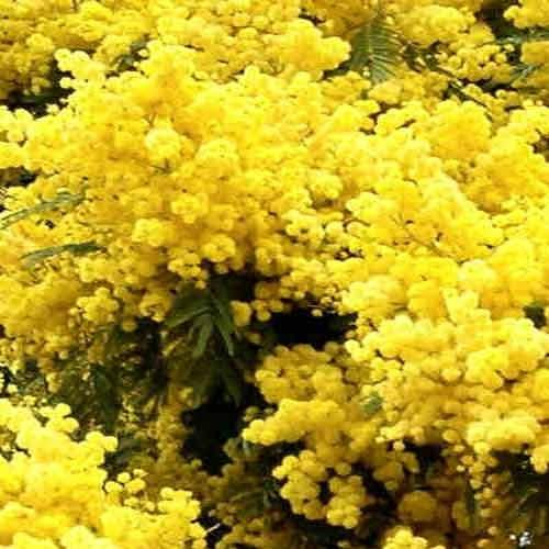 Acacia Dealbata View Specifications Details Of Herbal Plant By