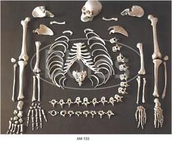 Dis-Skeleton Bones