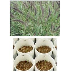 Buffel Grass Seed