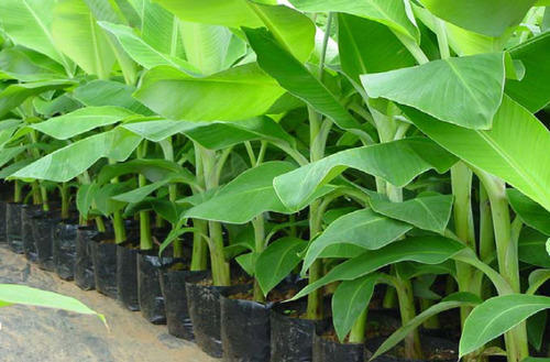Banana Tissue Culture Plants At Rs 12 Piece Banana Tree