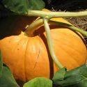 Pumpkin Seed Extract