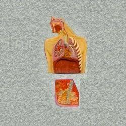 Human Respiratory System Anatomy Model