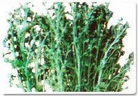 Marikolunthu Seeds, Pack Size: Custom
