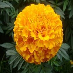Marigold flower find wholesale price for marigold flower in india marigold flower mightylinksfo