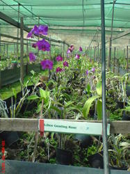 Cultivation of Orchid Flowers in Poly Houses