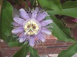 Passiflora Herb