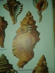 Mothi Sea Shell, Ramanathapuram - Manufacturer of Natural