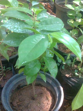Sugar Apple(Annona Muricata)(Mullatha in Malayalam ... Soursop Tree In Kerala