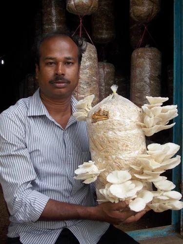 Mushroom Seeds - Dhingri Seeds Suppliers, Traders & Manufacturers