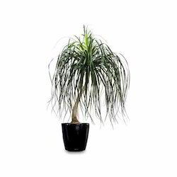 Palms Plants - Date Palm Trees Manufacturer from Delhi on indoor pony tail plant, corn house plant, indoor palms low light, wicker basket with silk areca palm plant, ponytail bonsai plant, elephant foot house plant,