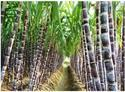 Potassium Polyacrylate For Sugarcane