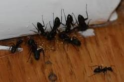 Black Ants Control