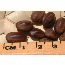 Samanea Saman Seeds