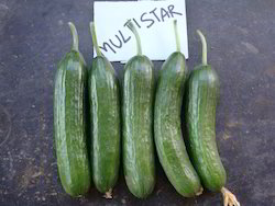 Multistar Cucumber Seeds