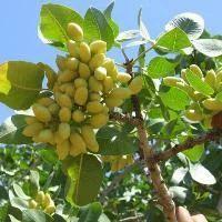 African Pista Tree फल क प ड