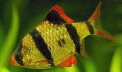 Barb Ornamental Fish