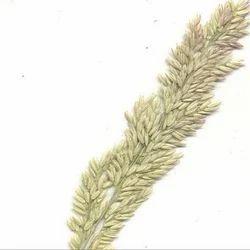 Hordeum Distichon Seed