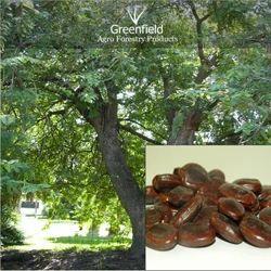 Imli Fruit Seed (Tamarindus Indica ), Pack Type: PP Bag