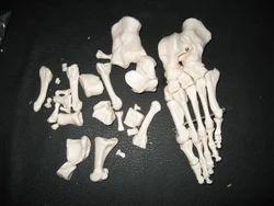 Foot Bones Models