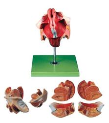 Female Genital Organ Models