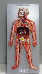 Kay Kay Human Circulatory System Model