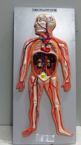 Human Circulatory System X