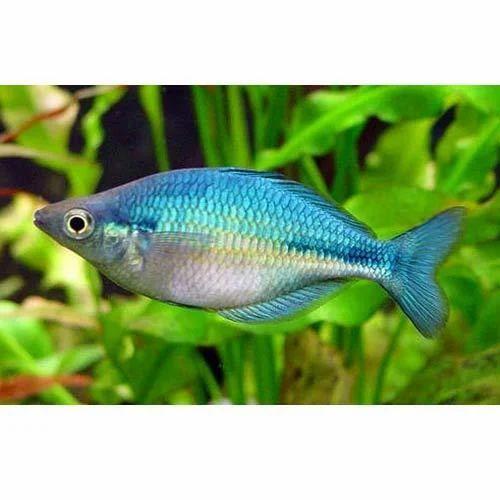 dwarf neon rainbow fish view specifications details of aquarium