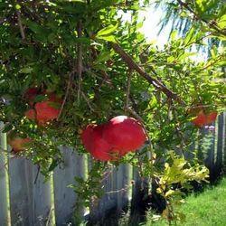 Ganesh Pomegranate Plant