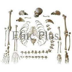 Disarticulated Skeleton and Skull Models