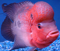 Fish-Flowerhorn - View Specifications & Details of