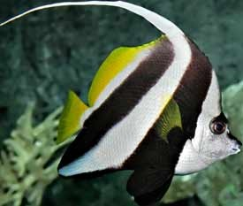 Fish Heniochus Black And White Butterflyfish Fish O Fish Amravati