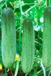 Hybrid Cucumber Gen 221