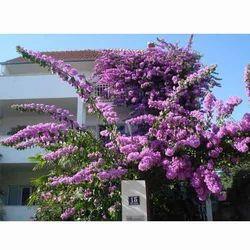 Formosa Tree