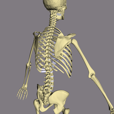 threed anatomy software for interactive whiteboards - bonelab2, Skeleton