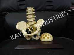 Pelvis With Pen Stand Model