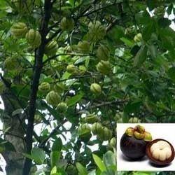 garcinia cambogia fruit en kannada
