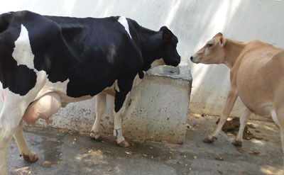 jersey cows for sale in pakistan