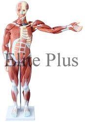 Human Muscle Model Male