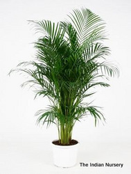Areca Palm Bushy Ornamental Plants
