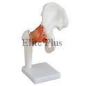 Life Size Hip Joint Models
