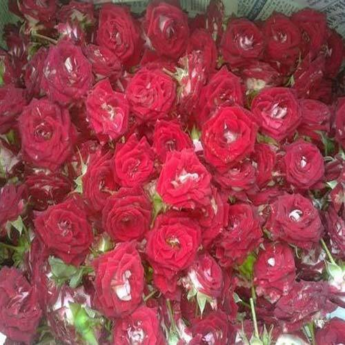 Ruby Red Rose