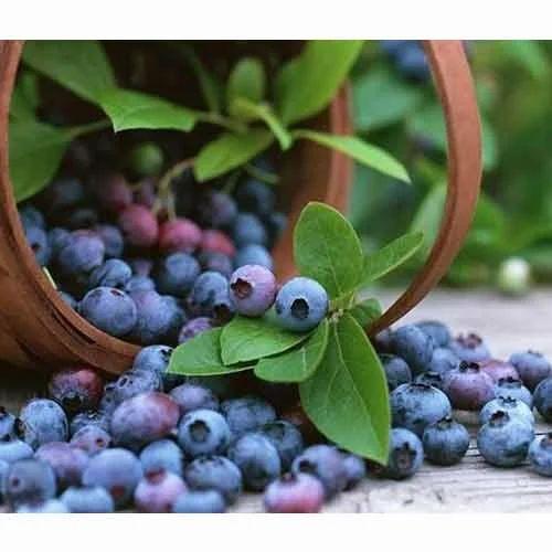Fresh Blueberries, Fresh Fruits   Koyambedu Koyambedu