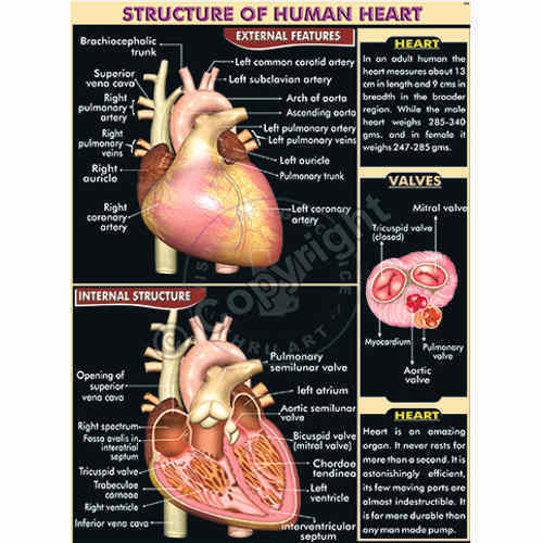 human heart chart images: Human heart structure chart at rs 260 piece human anatomy