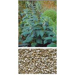 Sesamum Seeds